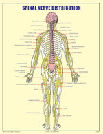 SPINAL NERVE DISTRIBUTION FORM