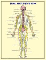 SPINAL NERVE DISTRIBUTION POSTER