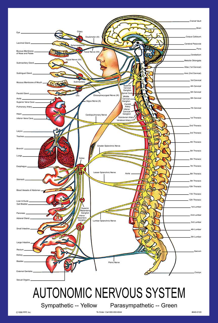 Autonomic Nervous System Poster Parker University Bookstore