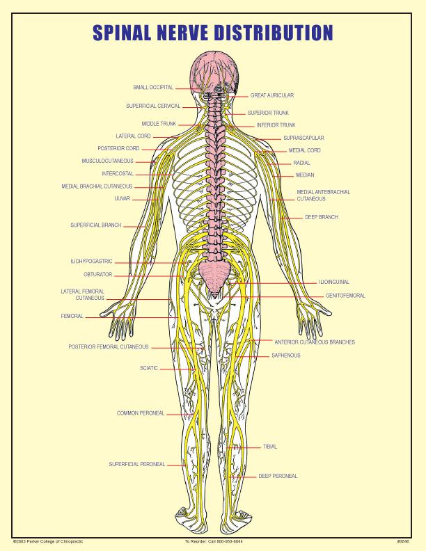 Spinal Nerve Distribution Form Parker University Bookstore